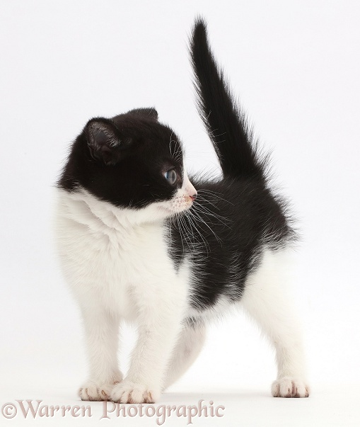 Black-and-white kitten, Loona, 8 weeks old, standing, white background