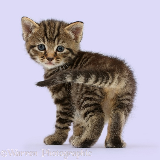 Cute tabby kitten, 4 weeks old, standing and looking round, white background