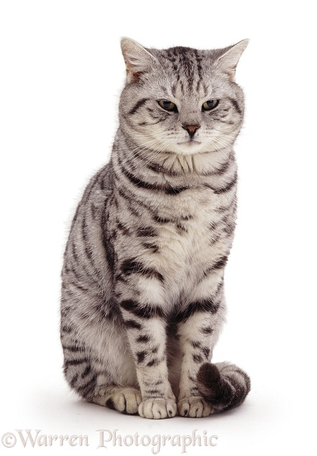 British Shorthair silver spotted tabby male cat, Zorro, 9 years old, white background