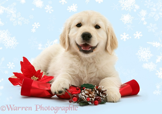 Smiley Golden Retriever pup with Christmas cracker, white background
