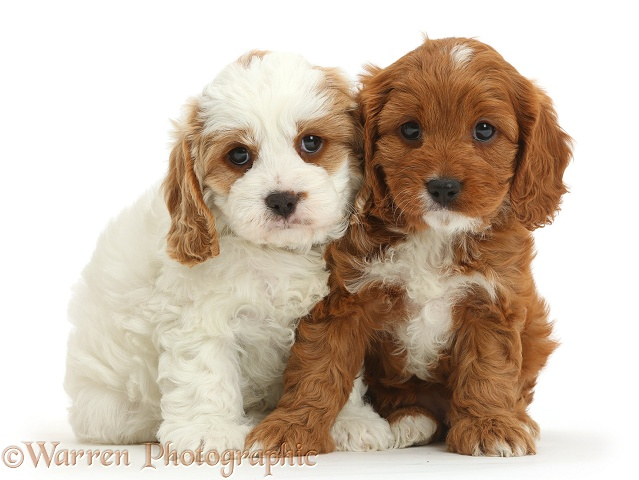 Cavapoo puppies, 6 weeks old, sitting head-to-head, white background
