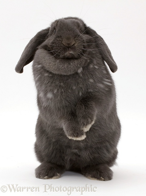 Blue grey lop rabbit standing up, white background
