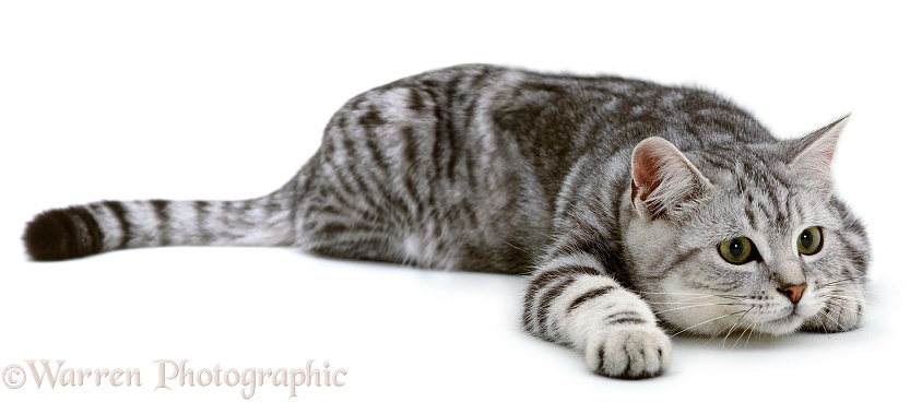 Silver tabby cat, Butterfly, watching intently, ready to pounce, white background