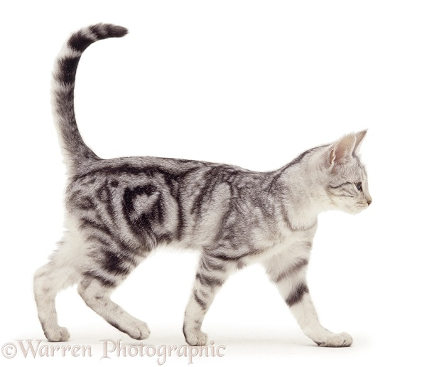 Silver tabby kitten walking, white background