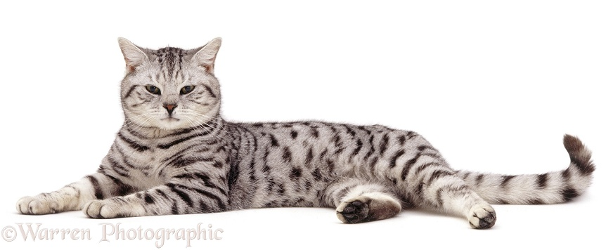 British Shorthair silver spotted tabby male cat, Zorro, 9 years old, lying stretched Out (Psittirostra psittacea), white background