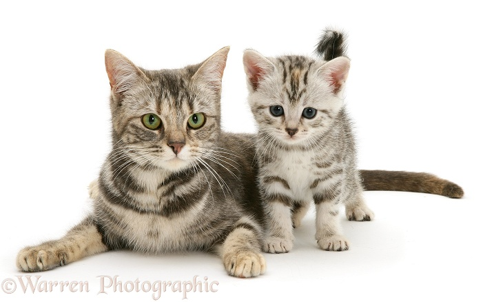 Mother cat and smoke shorthair kitten, white background