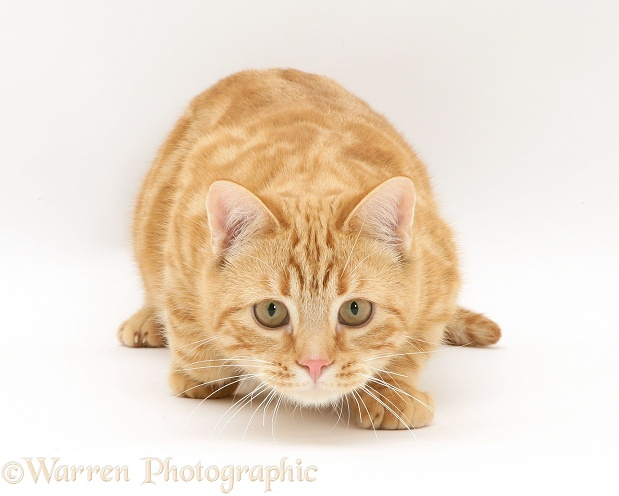 Ginger cat, Benedict, 7 months old, stalking, white background