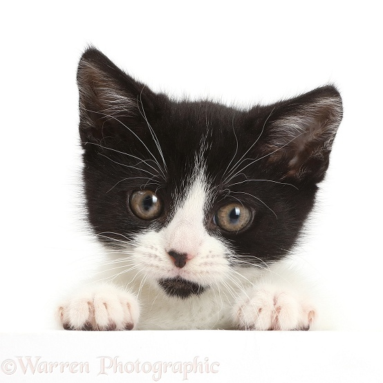 Black-and-white kitten, Loona, 11 weeks old, with paws over, white background