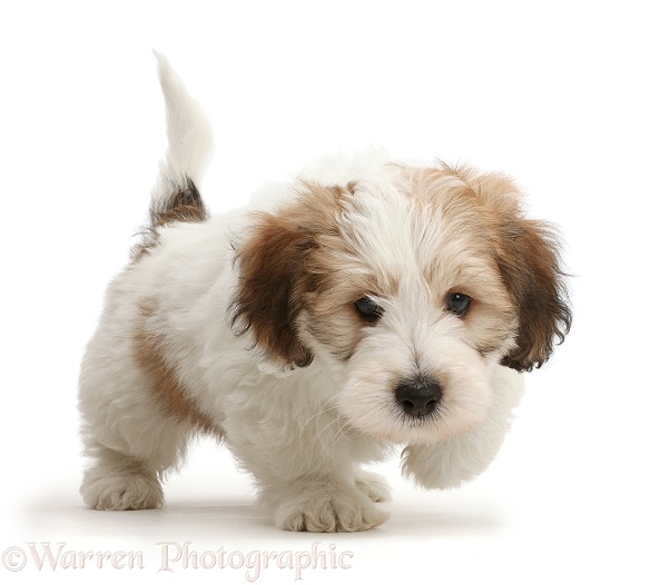 Jack Russell x Bichon puppy trotting, white background