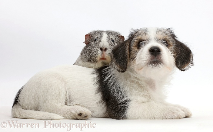 Jack Russell x Bichon puppy and Guinea pig, white background
