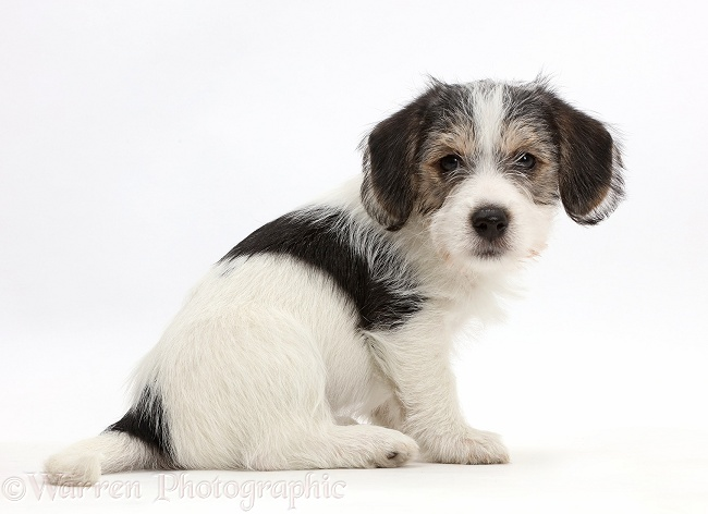 Jack Russell x Bichon puppy looking over shoulder, white background