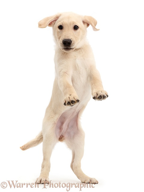 Playful Yellow Labrador Retriever puppy, 9 weeks old, jumping up, white background