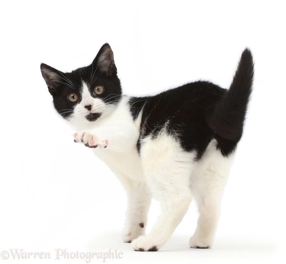 Black-and-white kitten, Loona, 3 months old, turning looking over her shoulder, and pointing, white background