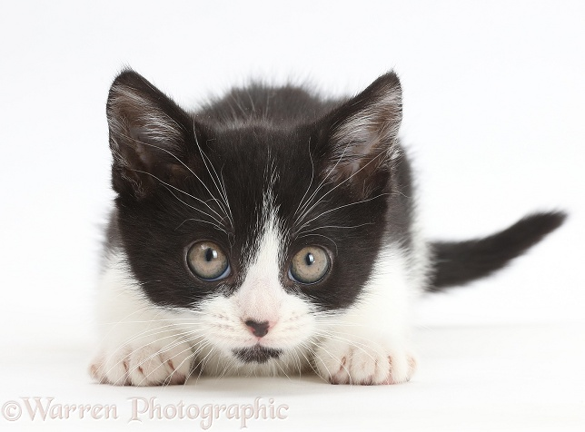 Black-and-white kitten, Loona, 11 weeks old, staring intently, white background