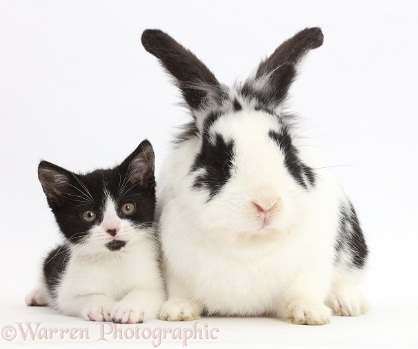Black-and-white kitten, Loona, 11 weeks old, with black-and-white rabbit, Bandit, white background
