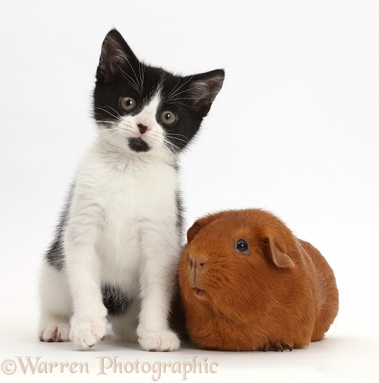 Black-and-white kitten, Loona, 11 weeks old, with fat red Guinea pig, white background