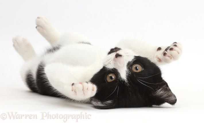 Black-and-white kitten, Loona, 3 months old, lying on her back, white background