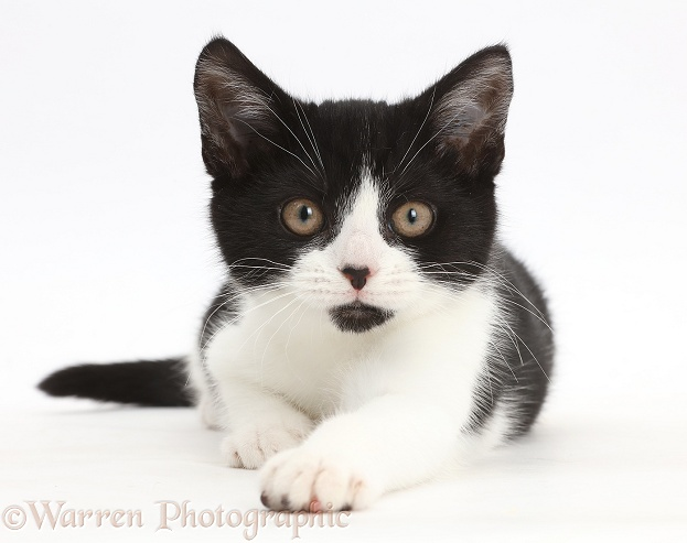 Black-and-white kitten, Loona, 3 months old, white background