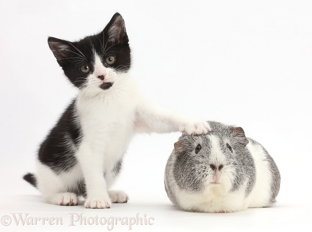 Black-and-white kitten, Loona, 11 weeks old, with her paw on silver-and-white Guinea pig, white background