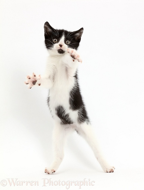 Black-and-white kitten, Loona, 10 weeks old, jumping up, white background