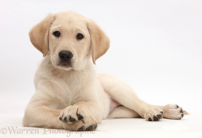 Yellow Labrador Retriever puppy, 9 weeks old, lying with head up and crossed paws, white background