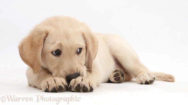 Yellow Labrador Retriever puppy, 9 weeks old, nose buried in paws, white background