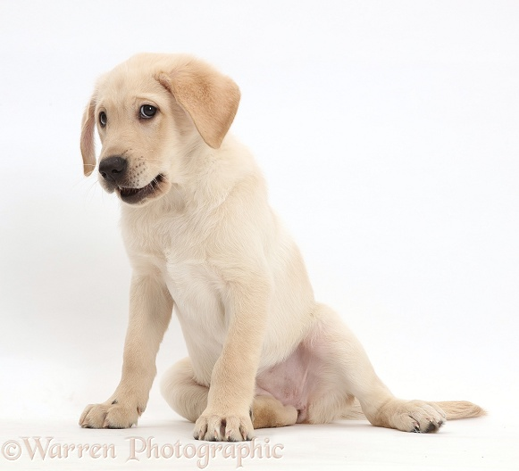 Yellow Labrador Retriever puppy, 9 weeks old, white background