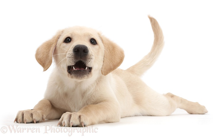 Playful Yellow Labrador Retriever puppy, 9 weeks old