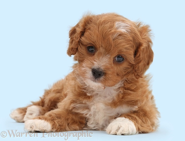 Cute red-and-white Cavapoo puppy, white background