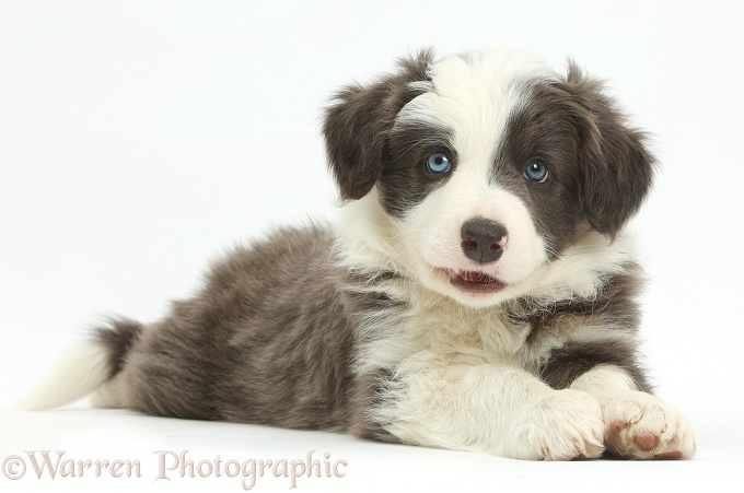 Border Collie puppy lying stretched out, white background