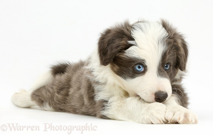 Border Collie pup lying with chin on paws, white background