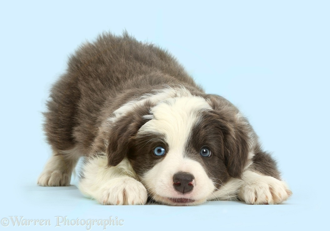 Border Collie puppy in play-bow, white background