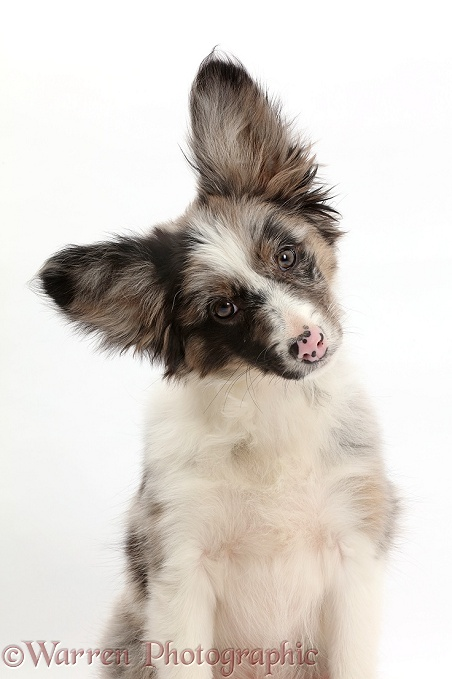 Papillon x Collie puppy, Jazz, 3 months old, tilting his head, white background