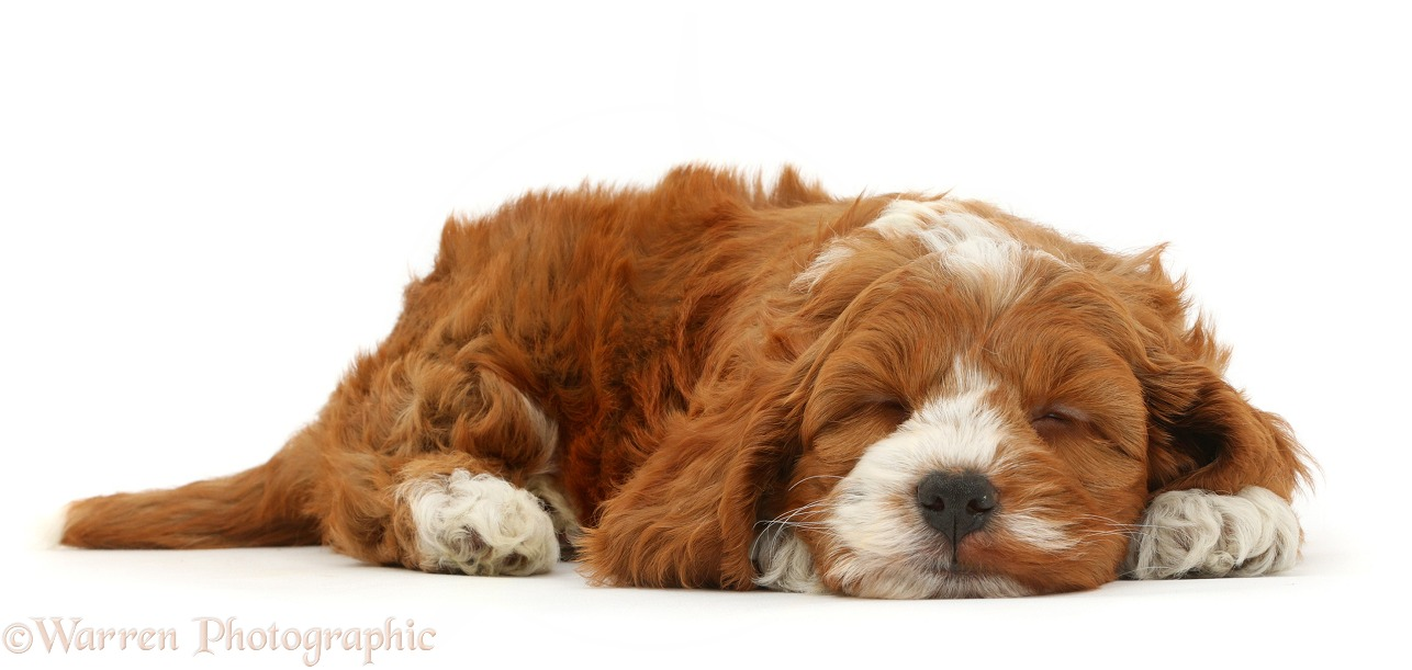 Cute Cockapoo puppy sleeping, white background
