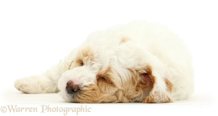 Cockapoo puppy sleeping, white background