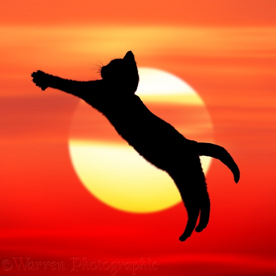 Silhouette of kitten, Loona, 4 months old, leaping at sunset