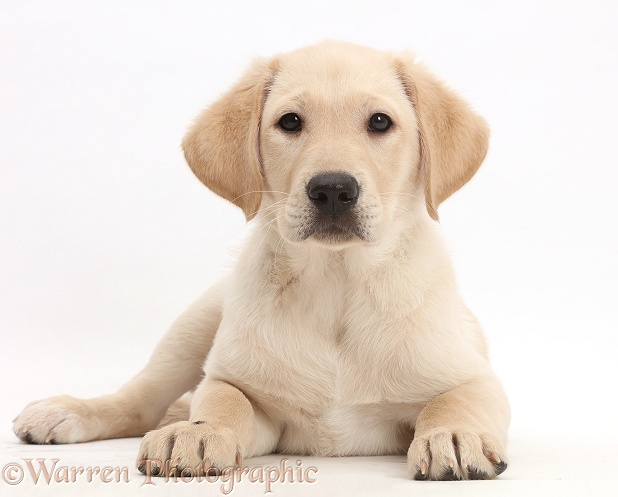 Yellow Labrador Retriever puppy, 9 weeks old, lying with head up, white background