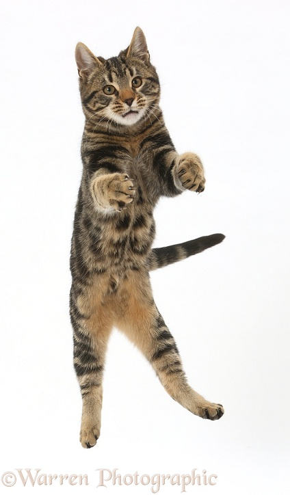 Tabby cat, Smudge, 4 months old, leaping into the air, white background