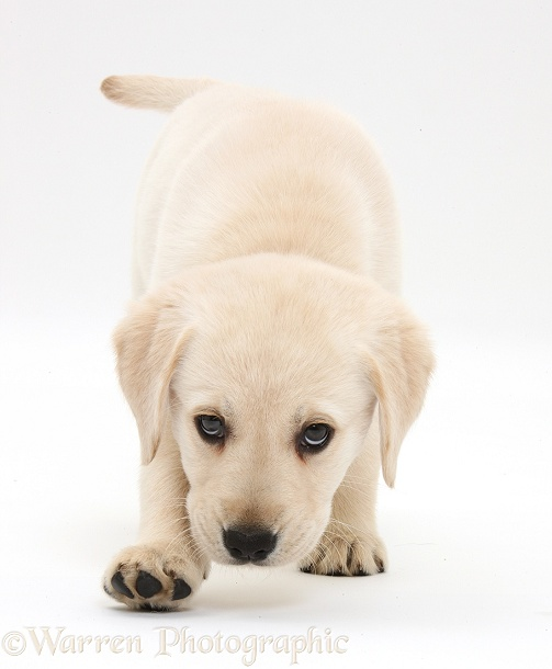 Yellow Labrador Retriever puppy, 8 weeks old, walking with head down low, white background