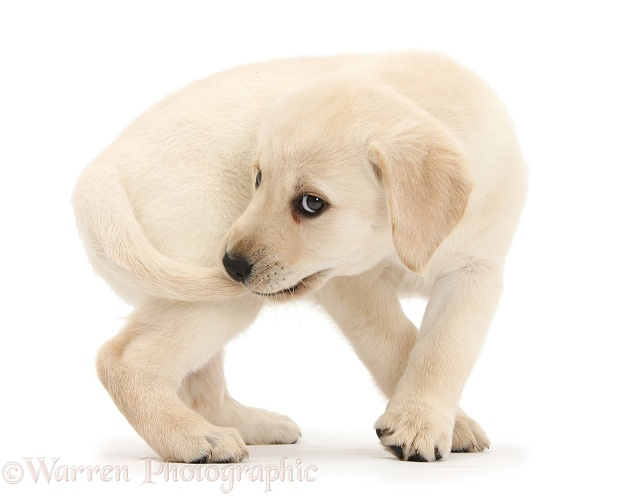 Yellow Labrador Retriever puppy, 8 weeks old, catching her own tail, white background