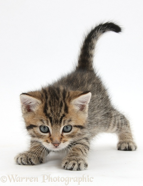 Cute tabby kitten, Stanley, 5 weeks old, white background
