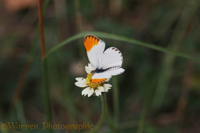 Orange-tip Butterfly (Colotis antevippe)