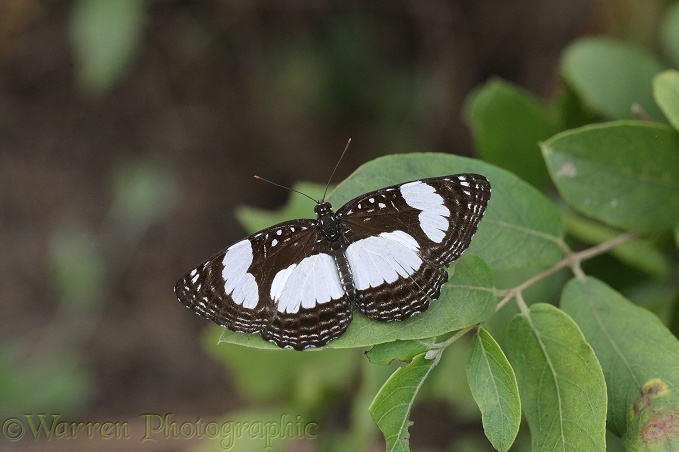 River Sailor Butterfly (Neptis serena)
