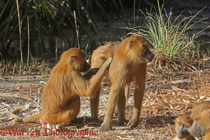 Western Baboon (Papio papio) male being groomed by female