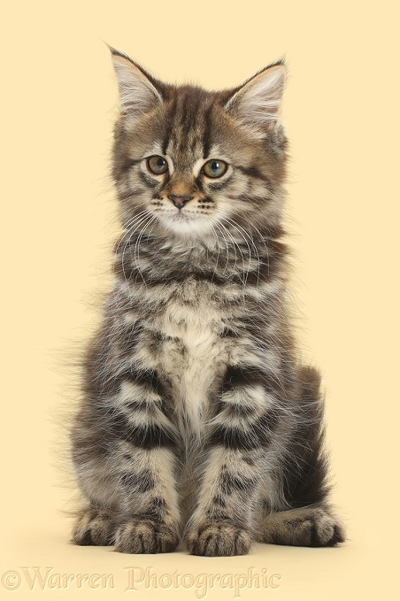 Tabby kitten sitting, white background