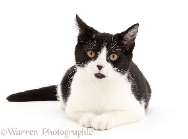 Black-and-white kitten, Loona, 4 months old, lying head up, white background