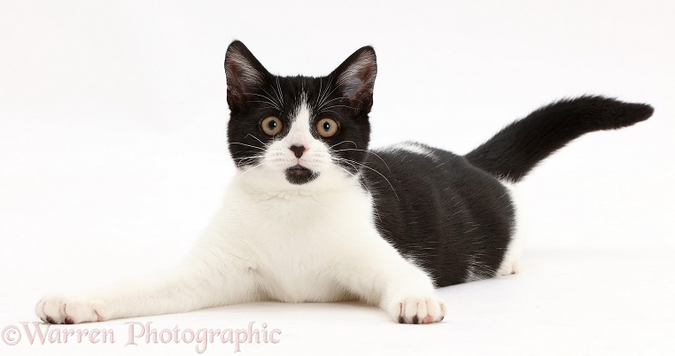 Black-and-white kitten, Loona, 4 months old, lying head up and looking alert, white background