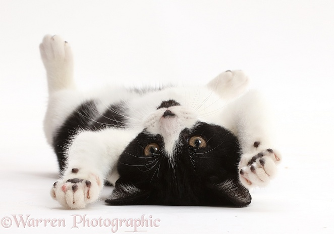 Black-and-white kitten, Loona, 4 months old, lying on her back, white background