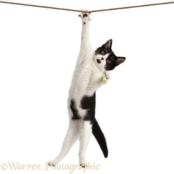 Black-and-white kitten, Loona, 4 months old, hanging by one paw, from a rope