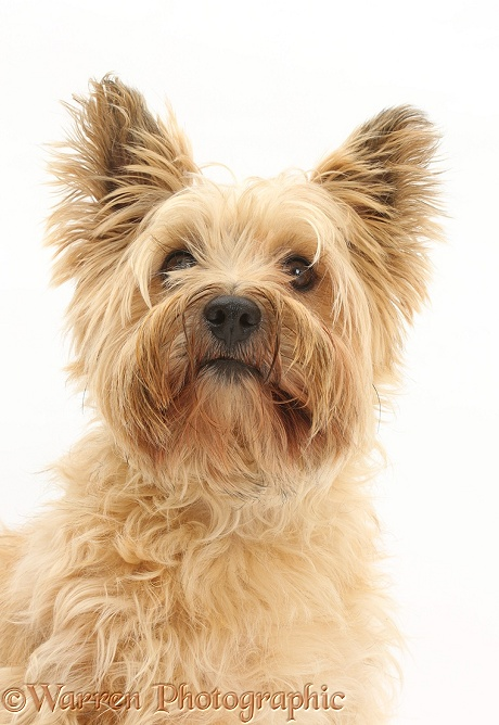 Cairn Terrier, white background